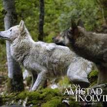 Fondo de pantalla : Los lobos salvajes