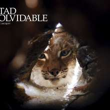 Fondo de pantalla : El lince cazador de zorro