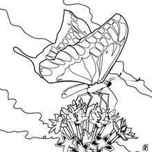 Dibujo para colorear : una magnifica MARIPOSA MACAON