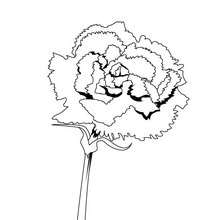 Dibujo de un clavel - Dibujos para Colorear y Pintar - LA NATURALEZA: dibujos para colorear - Dibujos de FLORES para pintar