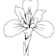 Dibujo de un lirio - Dibujos para Colorear y Pintar - LA NATURALEZA: dibujos para colorear - Dibujos de FLORES para pintar