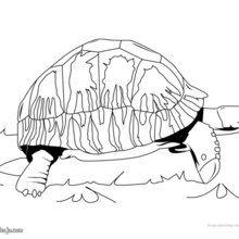 Dibujo para colorear : Tortuga Carbonaria