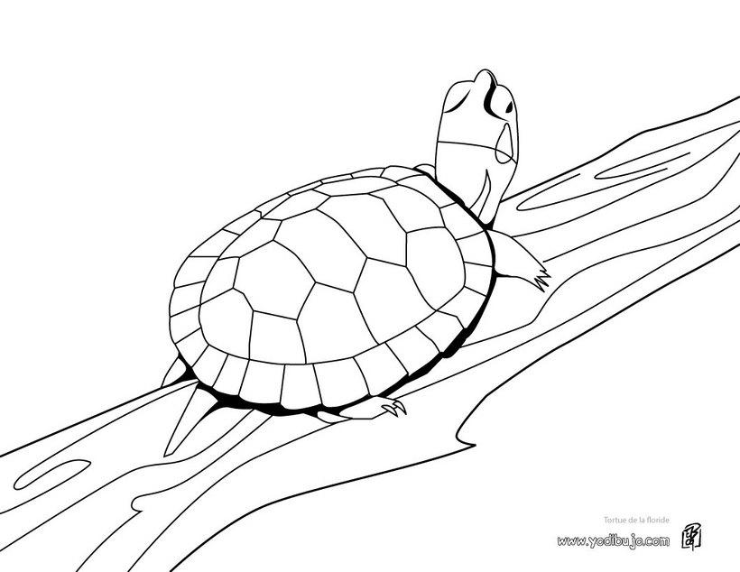 Dibujos para colorear tortuga verde - es.hellokids.com