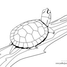Dibujo para colorear : Tortuga Verde