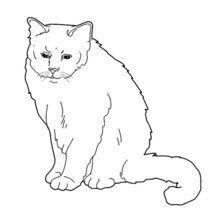Pintar GATOS CARTUJOS - Dibujos para Colorear y Pintar - Dibujos para colorear ANIMALES - Dibujos GATOS para colorear - Dibujos para pintar GATO CARTUJO
