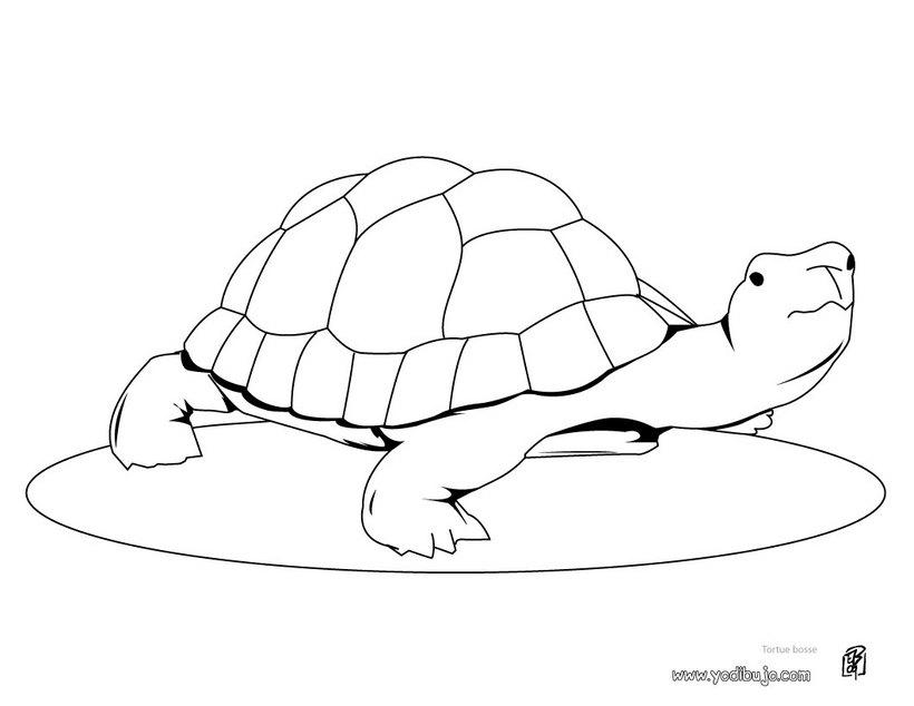 para colorear Tortuga Golfina Dibujo de una tortuga de mar Dibujo para ...