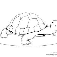 Dibujo para colorear Tortuga Hermann - Dibujos para Colorear y Pintar - Dibujos para colorear ANIMALES - Dibujos REPTILES para colorear - Colorear dibujos TORTUGA - Pintar TORTUGAS MARINAS