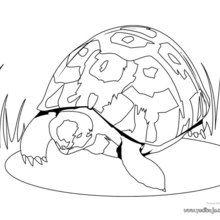 Dibujo para colorear : Tortuga Leopardo