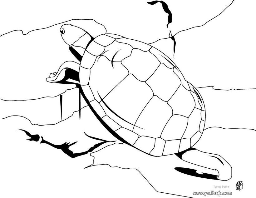 Colorear Dibujos Tortuga 20 Dibujos De Animales Para Colorear Y