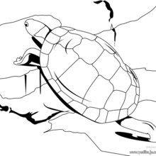 Dibujo para colorear : Tortuga Horsfieldi