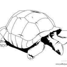 Dibujo para colorear Tortuga Sulcata - Dibujos para Colorear y Pintar - Dibujos para colorear ANIMALES - Dibujos REPTILES para colorear - Colorear dibujos TORTUGA - Pintar TORTUGAS TERRESTRES