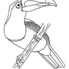 El tucán para pintar - Dibujos para Colorear y Pintar - Dibujos para colorear ANIMALES - Dibujos AVES para colorear - Colorear TUCAN
