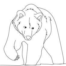 Dibujo para colorear OSO GRIS - Dibujos para Colorear y Pintar - Dibujos para colorear ANIMALES - Dibujos ANIMALES SALVAJES para colorear - Dibujos ANIMALES DE LA SELVA para colorear - Colorear OSO