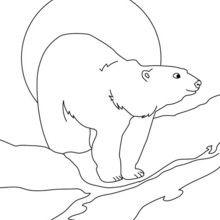 Dibujo para pintar OSO POLAR - Dibujos para Colorear y Pintar - Dibujos para colorear ANIMALES - Dibujos ANIMALES SALVAJES para colorear - Dibujos ANIMALES DE LA BANQUISA para colorear - Colorear OSO BLANCO