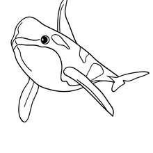 Dibujo para colorear ORCA - Dibujos para Colorear y Pintar - Dibujos para colorear ANIMALES - Dibujos ANIMALES MARINOS para colorear - Colorear MAMIFEROS MARINOS - Colorear ORCAS