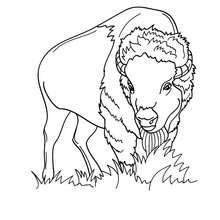 Dibujo para pintar bisonte peludo - Dibujos para Colorear y Pintar - Dibujos para colorear ANIMALES - Dibujos ANIMALES SALVAJES para colorear - Dibujos ANIMALES DE LA SABANA para colorear - Colorear BISONTE