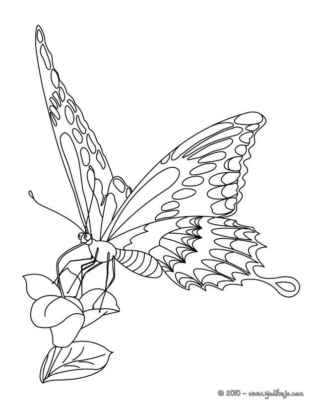 Dibujos para colorear hermosa mariposa monarca - es.hellokids.com