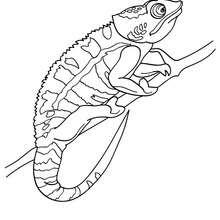 Dibujo de cameleon para pintar - Dibujos para Colorear y Pintar - Dibujos para colorear ANIMALES - Dibujos REPTILES para colorear - Colorear dibujos CAMELEON