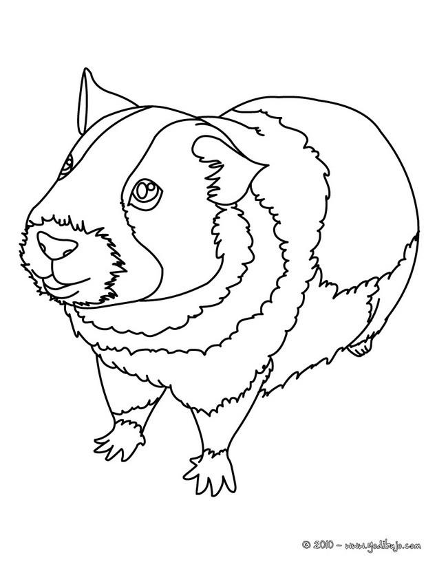 Dibujo para colorear : Conejillo de Indias, raza americana