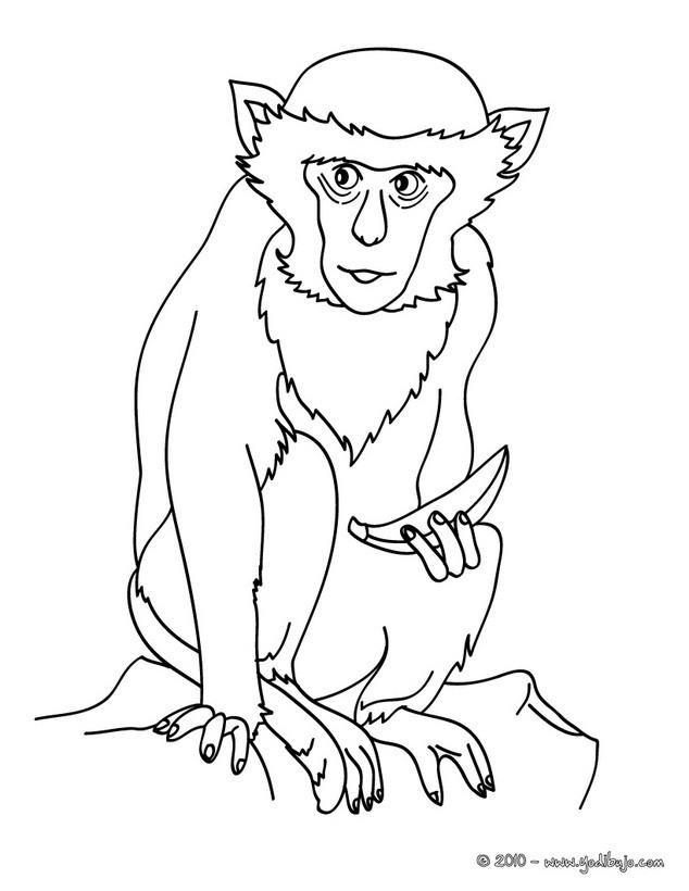 Dibujo para colorear : Mono Capuchino