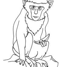 Dibujo para pintar CHIMPANCE - Dibujos para Colorear y Pintar - Dibujos para colorear ANIMALES - Dibujos ANIMALES SALVAJES para colorear - Dibujos ANIMALES DE LA JUNGLA para colorear - Colorear MONOS - Dibujos para pintar CHIMPANCE