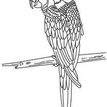 Dibujo para colorear PAPAGAYO - Dibujos para Colorear y Pintar - Dibujos para colorear ANIMALES - Dibujos AVES para colorear - Dibujo para colorear LORO