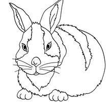 Dibujo para colorear conejo Arlequin - Dibujos para Colorear y Pintar - Dibujos para colorear ANIMALES - Dibujos ANIMALES DE GRANJA para colorear - Colorear CONEJOS - Pintar CONEJO