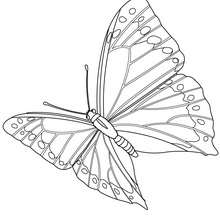 Dibujo MARIPOSA MONARCA - Dibujos para Colorear y Pintar - Dibujos para colorear ANIMALES - Dibujos INSECTOS para colorear - Dibujos para colorear MARIPOSAS - Colorear MARIPOSA MONARCA