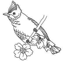 Dibujo de pajaro CARDENAL DE VIGINIA - Dibujos para Colorear y Pintar - Dibujos para colorear ANIMALES - Dibujos PAJAROS para colorear - Dibujos para colorear e imprimir PAJAROS