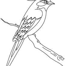 Dibujo para colorear : un HERMOSO PAJARO