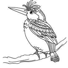 Dibujo para colorear : PAJARO CARPINTERO (gallo de monte)