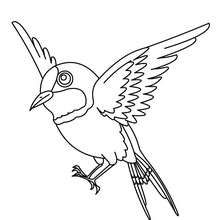 Dibujo de un GORRION - Dibujos para Colorear y Pintar - Dibujos para colorear ANIMALES - Dibujos PAJAROS para colorear - Colorear pajaros GORRION