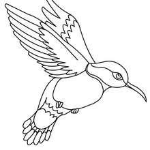 Dibujo de COLIBRI - Dibujos para Colorear y Pintar - Dibujos para colorear ANIMALES - Dibujos PAJAROS para colorear - Colorear pajaros COLIBRI