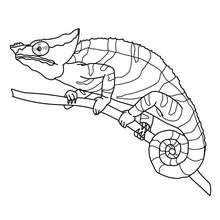Dibujo de un CAMELEON - Dibujos para Colorear y Pintar - Dibujos para colorear ANIMALES - Dibujos REPTILES para colorear - Colorear dibujos CAMELEON