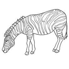 Dibujo de una CEBRA - Dibujos para Colorear y Pintar - Dibujos para colorear ANIMALES - Dibujos ANIMALES SALVAJES para colorear - Dibujos ANIMALES DE LA SABANA para colorear - Colorear CEBRA