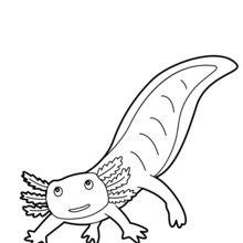 Dibujo para colorear : Axolotl