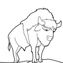 Dibujo para colorear : Bisonte salvaje
