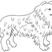 Dibujo para colorear : Un perro collie