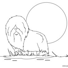 Dibujo para colorear : un perro muy peludo
