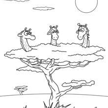 Dibujo para colorear : Jirafas en un árbol