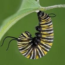 Reportaje para niños : De la oruga a la mariposa