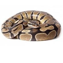 Reportaje para niños : La serpiente Pitón: ¿Lo sabías?