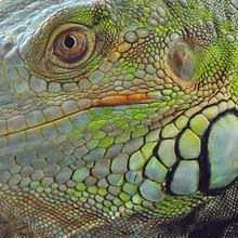 Reportaje para niños : Las Iguanas: ¿Lo sabías?