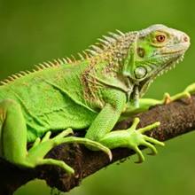 Reportaje para niños : Las iguanas