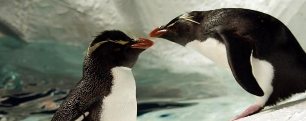 Noticia : Faunia celebrará San Valentín homenajeando a sus parejas de pingüinos más veteranas