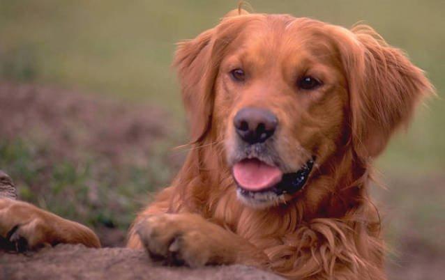 razas de perros grandes golden retriever