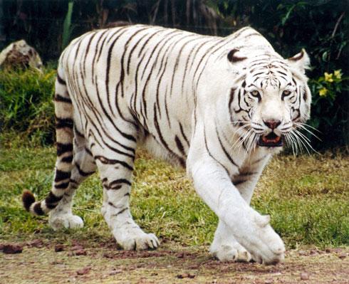 tigre blanco esta en peligro de extinción