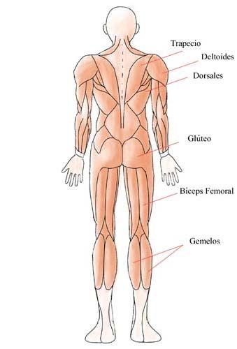 Conocemos Las Proporciones Del Cuerpo Humano Y Algo De Los M  Sculos
