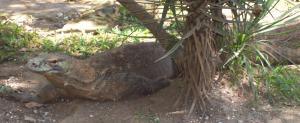 Reportaje para niños : El dragón del Komodo