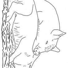 Dos marranos - Dibujos para Colorear y Pintar - Dibujos para colorear ANIMALES - Dibujos ANIMALES DE GRANJA para colorear - Colorear MARRANOS